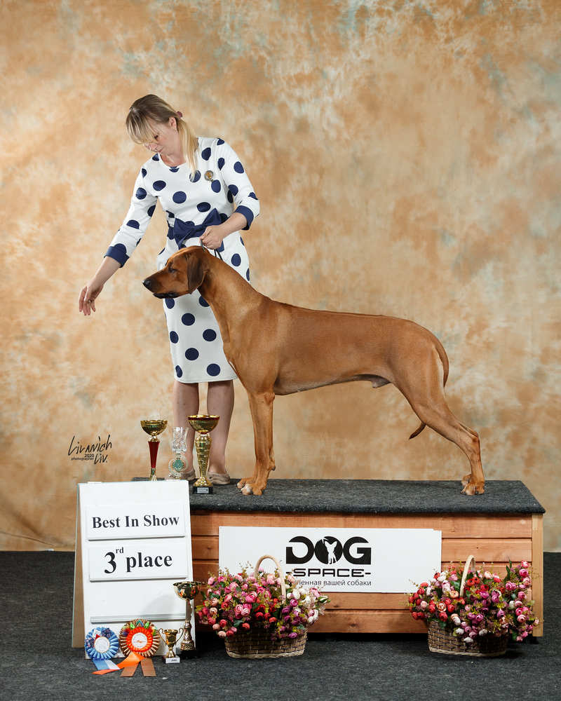 Rhodesian ridgeback  Ridge's'Star Ricardo Great