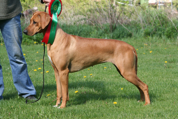 Rhodesian ridgeback KANGELANI'S GENTLE GRACE BY CLAY
