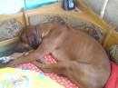Гердусяка-компактная собака