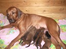 Родезийский риджбек Хармони-приемная мать
